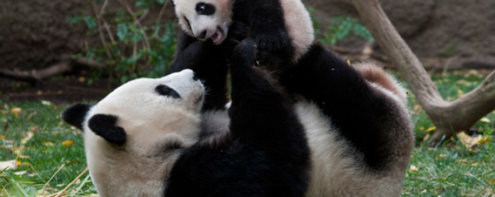The Giant Panda: Wisest of Beasts